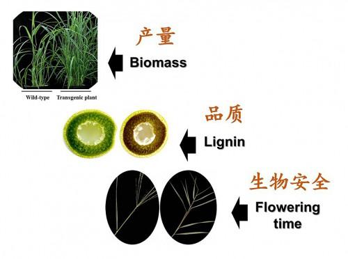 青岛能源所在能源草遗传改良提高生物量和品质方面取得进展