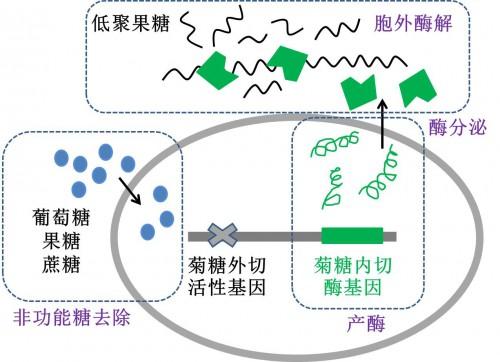 青岛能源所菊芋生物转化技术取得进展