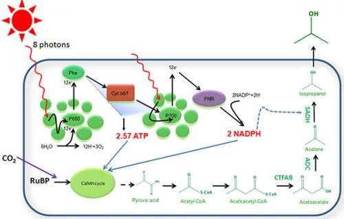 微生物所在提高光合作用效率研究中取得进展
