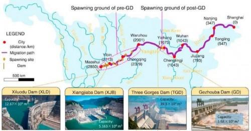 长江大坝使濒临灭绝的中华鲟前途未卜