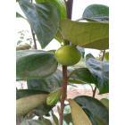 燃料乙醇用柿子